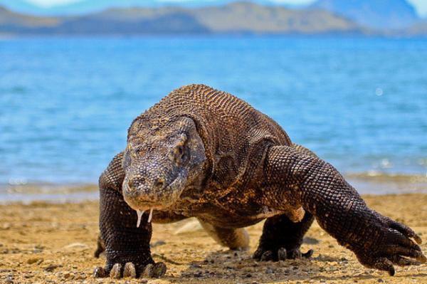 """它们看起来或许像爬行动物,但大蜥蜴事实上拥有类似于两栖动物的腿和大脑。它们每个眼睛都拥有三层眼皮,而且在它们头上拥有第三颗""""颅顶眼"""",很可能用于探测日夜循环。它们的脊椎骨类似于鱼类,而且它们的肋骨结构更像鸟类。它们多刺的尾巴和后背板更像鳄鱼而不是蜥蜴。这种生物在现代爬行动物世界中是一个异类,而且只生活在新西兰的近海岛屿上。"""