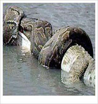 鳄鱼与蟒蛇生死大战 有输有赢